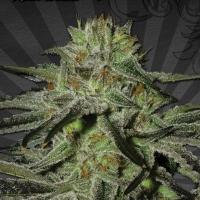 Kush Doctor Auto flowering Feminised Cannabis | Auto Seeds