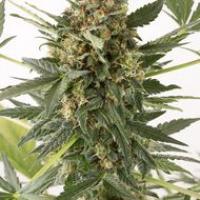 Kush n Cheese Auto Feminised Cannabis Seeds | Dinafem Seeds