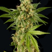 Kush n Cheese Feminised Cannabis Seeds | Dinafem Seeds