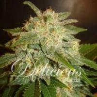 La Bella Afrodite Auto Feminised Cannabis Seeds   Delicious Seeds