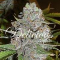 La Diva Auto Feminised Cannabis Seeds   Delicious Seeds