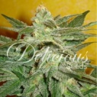 La Frutta Di Venus Auto Feminised Cannabis Seeds   Delicious Seeds