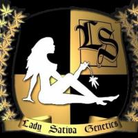 Super Orange Glue Regular Cannabis Seeds   Lady Sativa Genetics