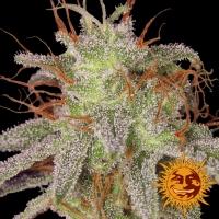 Amnesia Lemon Feminised Cannabis Seeds | Barney's Farm