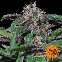 Ayahuasca Purple Feminised Cannabis Seeds | Barney's Farm
