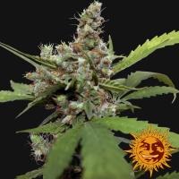 CBD Blue Shark Feminised Cannabis Seeds | Barney's Farm