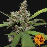 CBD Blue Shark Feminised Cannabis Seeds | Barney's Farm