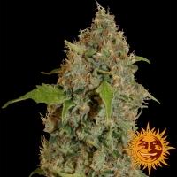 Chronic Thunder Feminised Cannabis Seeds | Barney's Farm