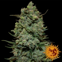 Cookies Kush Feminised Cannabis Seeds | Barney's Farm