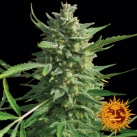 Critical Kush Feminised Cannabis Seeds | Barney's Farm
