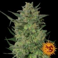 LSD Feminised Cannabis Seeds | Barney's Farm
