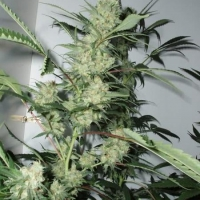 CBG Leshaze Regular Cannabis Seeds