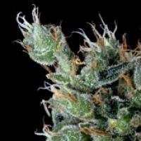 Magnum Platinum Haze Feminised Cannabis Seeds | Delta 9 Labs