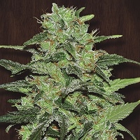 Malawi Regular Cannabis Seeds | Ace Seeds