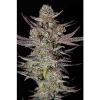Marion Berry Kush Regular Cannabis Seeds | TGA Seeds