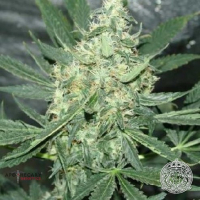 Maui OG Regular Cannabis Seeds | Apothecary Genetics Seeds