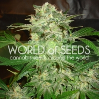 Mazar Kush Feminised Cannabis Seeds | World of Seeds