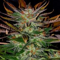 McEarly Regular Cannabis Seeds | Kannabia