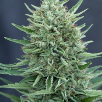 Med GOM Auto Feminised Cannabis Seeds