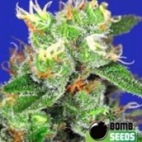 Bomb Seeds Medi Bomb #2 Feminised Cannabis Seeds For Sale