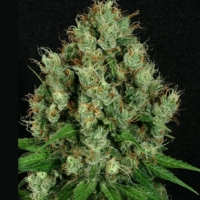 Mendo Diesel Regular Cannabis Seeds | Apothecary Genetics Seeds