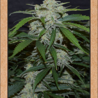 Fugue State Auto Feminised Cannabis Seeds | Mephisto Genetics