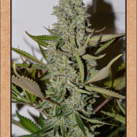 Northern Cheese Haze Auto Feminised Cannabis Seeds | Mephisto Genetics