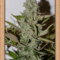 Northern Cheese Haze Auto Feminised Cannabis Seeds | Mephisto Genetics