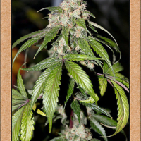 Samsquanch OG Feminised Cannabis Seeds | Mephisto Genetics