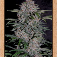 Strawberry Nuggets Feminised Cannabis Seeds | Mephisto Genetics