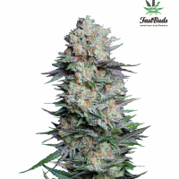 Mexican Airlines Auto Feminised Cannabis Seeds | Fast Buds