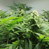 Afghan Skunk Regular Cannabis Seeds | Mr Nice Seeds