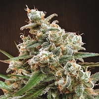Nepalese Jam Regular Cannabis Seeds | Ace Seeds