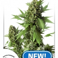 Auto Duck Feminised Cannabis Seeds | Dutch Passion