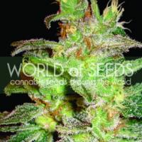Northern Lights x Big Bud Feminised Cannabis Seeds | World of Seeds