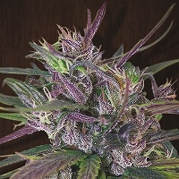 Oldtimer's Haze Regular Cannabis Seeds | Ace Seeds