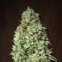 Orient Express Regular Cannabis Seeds | Ace Seeds