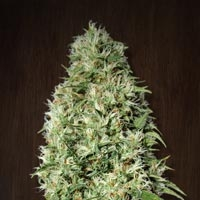 Orient Express Feminised Cannabis Seeds | Ace Seeds