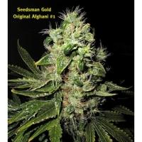 Afghani No1 Regular Cannabis Seeds | Seedsman