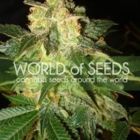 Pakistan Ryder Auto Feminised Cannabis Seeds | World of Seeds