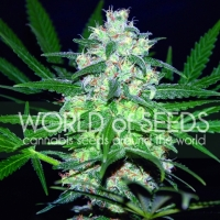 Pakistan Valley Feminised Cannabis Seeds | World of Seeds