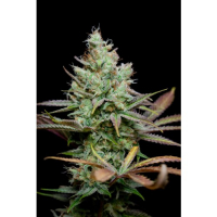 Pennywise Regular Cannabis Seeds | TGA Seeds