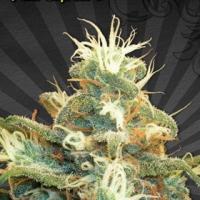 Polar Express Auto flowering Feminised Cannabis Seeds | Auto Seeds
