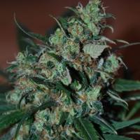 Power Bud Feminised Cannabis Seeds | Black Skull Seeds