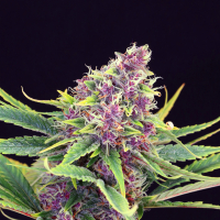 Purple Kush Feminised Cannabis Seeds | Kannabia