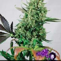Purple Haze #1 Feminised Cannabis Seeds | Positronics