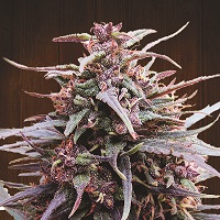 Purple Haze x Malawi Regular Cannabis Seeds | Ace Seeds