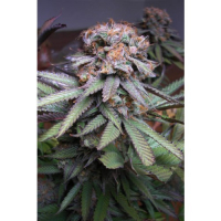 Querkle Regular Cannabis Seeds| TGA Seeds