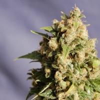 Kiss Feminised Cannabis Seeds