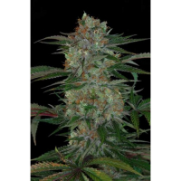 Qush Regular Cannabis Seeds | TGA Seeds